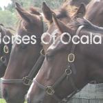 Horses in Ocala